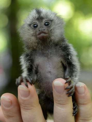 Zookeeper Sara -Joyce Fanke, unseen, holds a young common marmoset (Callithrix jacchus) in her hand at the zoo in Eberswalde, eastern Germany (AP Photo/dapd/Theo Heimann)