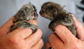 Baby marmosets! (© Cerri, Lara/ZUMA Press/Corbis)