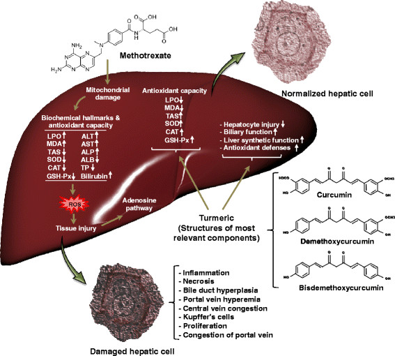 Schematic representation of the beneficial effects of turmeric on MTX induced liver toxicity. Turmeric plays an important role in modification of liver injury caused by MTX. The turmeric mostly exerts its effects by regulation of antioxidant capacity including enzymatic (SOD and CAT) and non-enzymatic antioxidants (GSH) as well as lipid peroxidation. It also modulates some liver related biochemical parameters causing in improvement of biliary and hepatic synthetic functions. Interestingly turmeric can normalize the histological changes in hepatocytes induced by MTX such as decrease in periportal degeneration, hyperemia, necrosis, and prevention of inflammatory cells infiltration Moghadam et al. BMC Complementary and Alternative Medicine 2015 15:246 doi:10.1186/s12906-015-0773-6