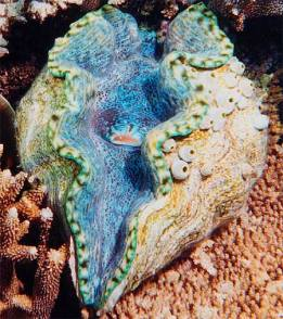 Giant clams (Tridacninae) are the world's largest living bivalve molluscs. Many of their speciesare endangered due to over-exploitation (for food and shells) and loss of habitats.(http://www.imagesbot.com/)