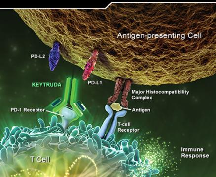 keytruda_mechanism