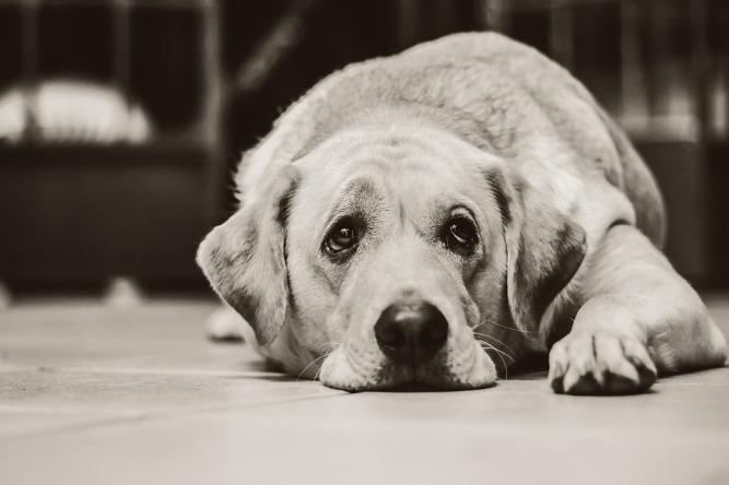 dog-1126025_960_720
