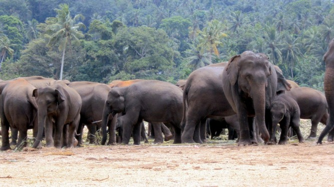 elephant-orphanage-170867_960_720