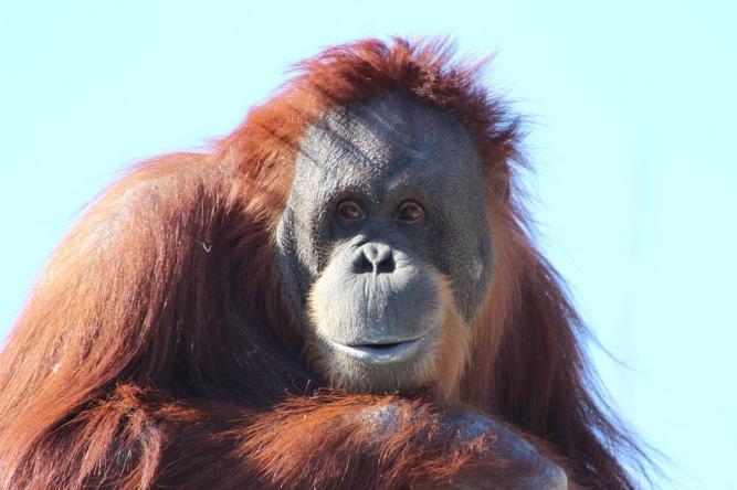 orangutan-481008_960_720