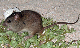 Bramble Cay melomy becomes the first documented mammalian victim of man-made climate change. Source: Wikimedia commons